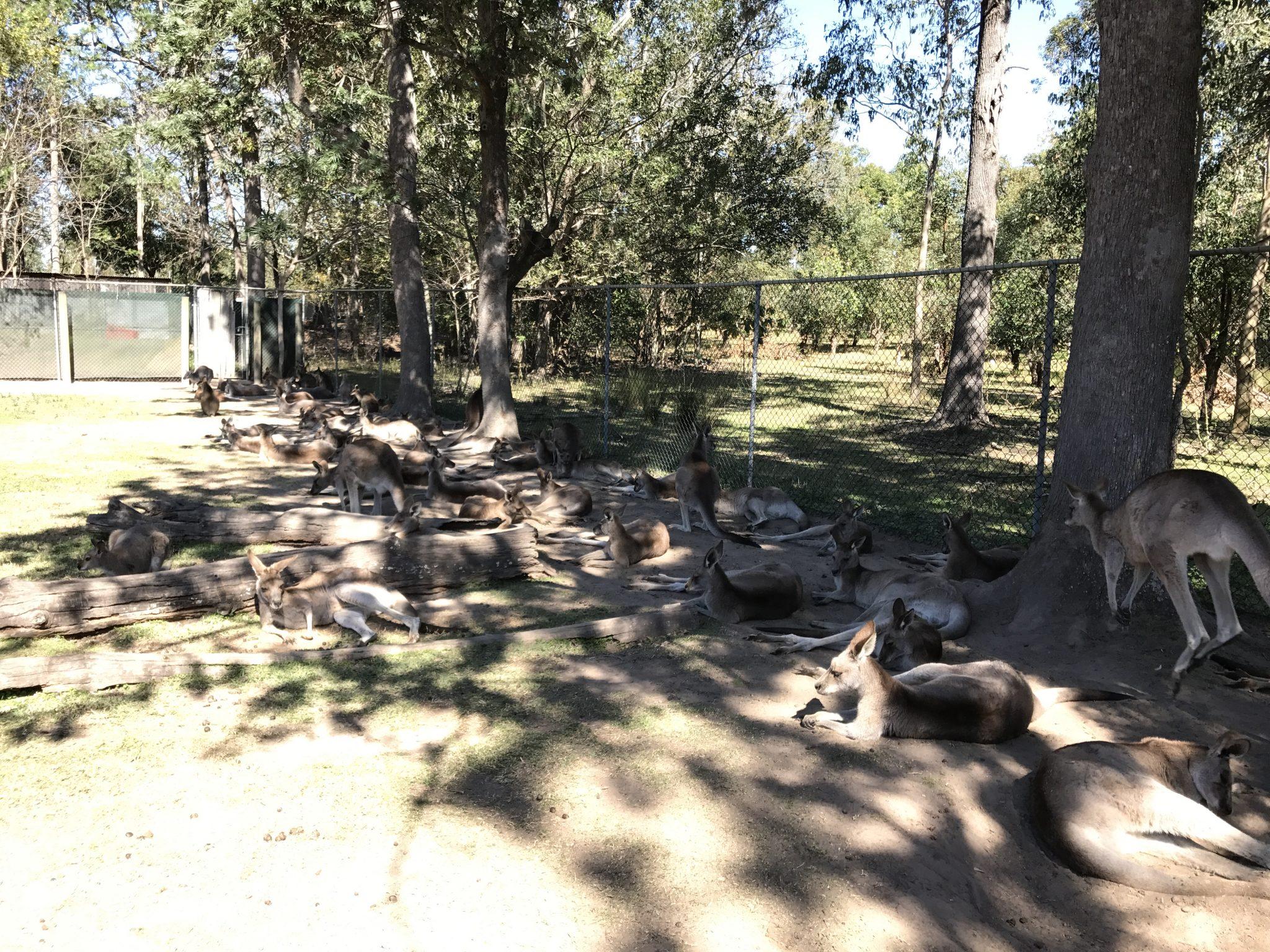 澳洲布里斯班旅游攻略龙柏考拉动物园 Lone Pine Koala Sanctuary