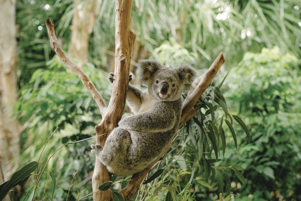 澳洲昆士兰自由行攻略龙柏考拉动物园